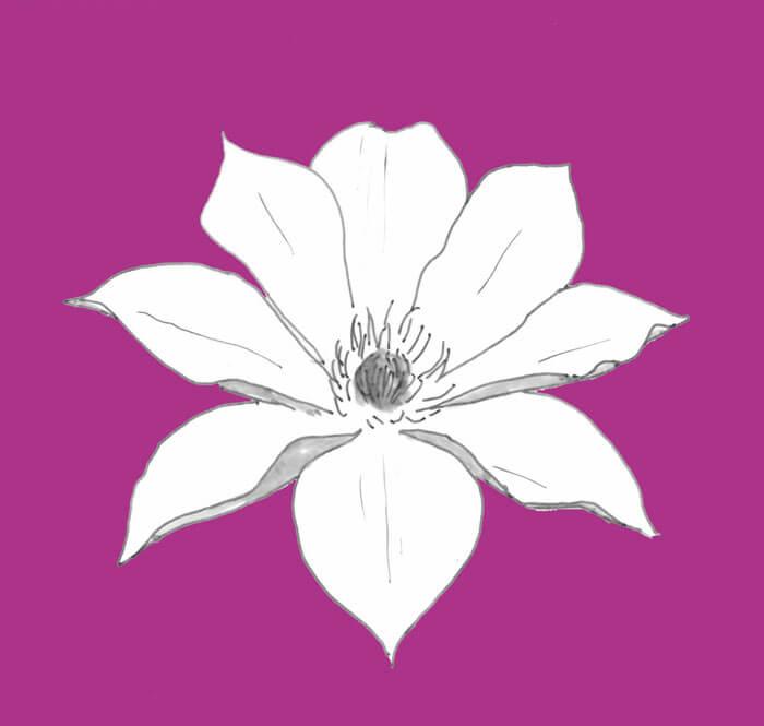 Zeichnung einer weißen Clematisblüte vor lila Hintergrund. Clematis ist ganz leicht giftig und hautreizend.