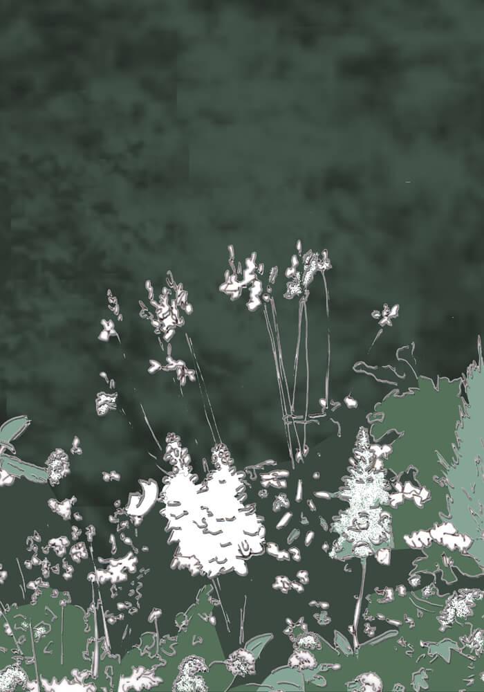 Weiße Blüten vor einer immergrünen Hecke, Skizze coloriert