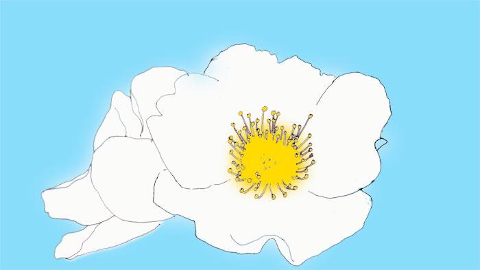 Weiße Heckenroseblüte, skizziert, coloriert