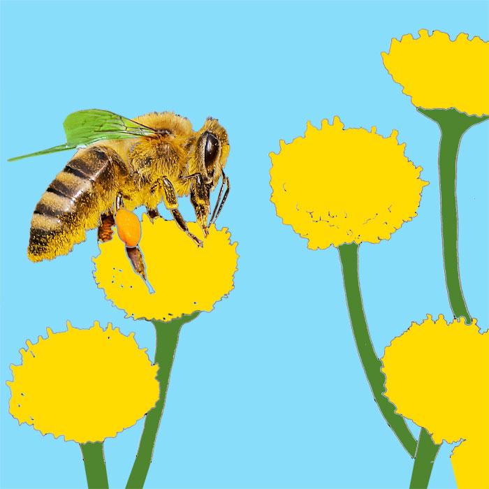 ein Biene auf einem Blütenkopf beim Pollensammeln