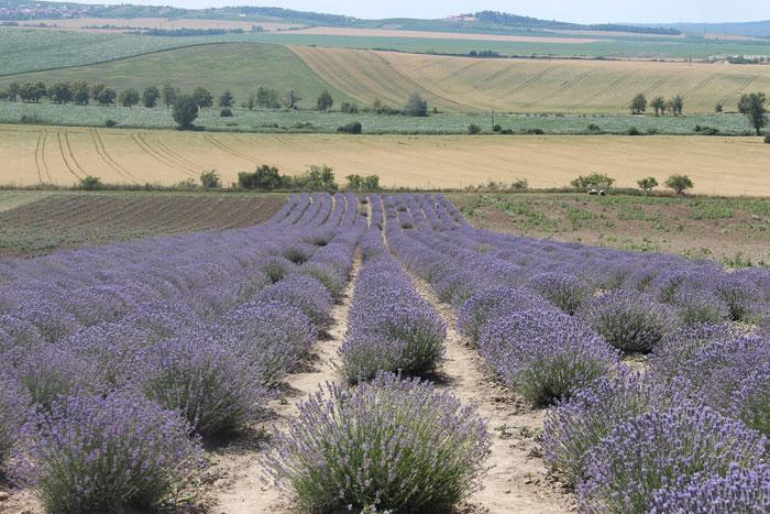 Feld mit blühendem Lavendel