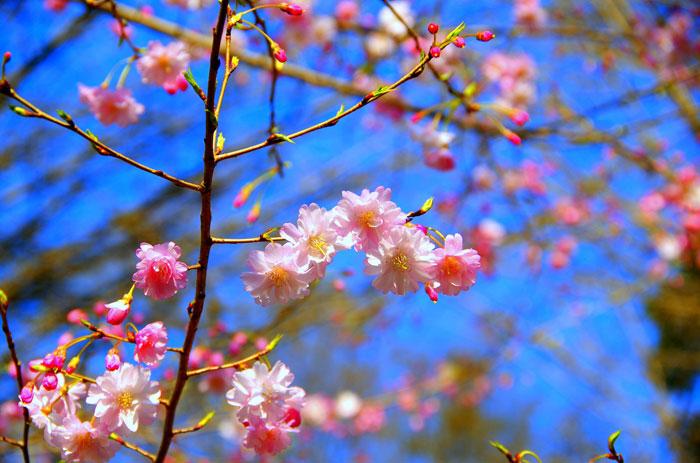 Foto einer rosa, halbgefüllten Kirschblüte