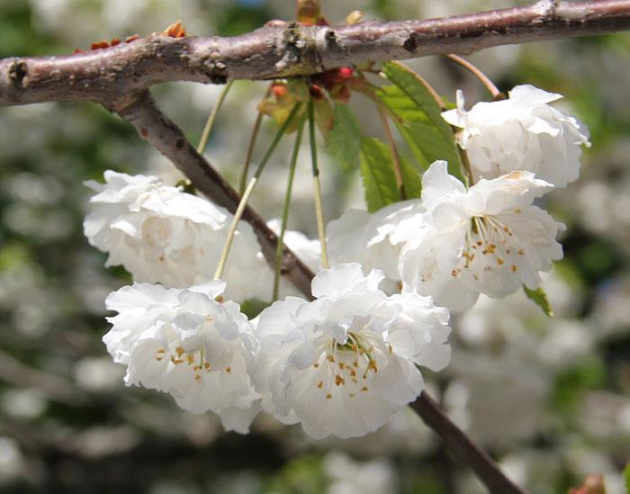Foto einer weiße, halbgefüllten Kirschblüte, Prunus avium 'Plena'