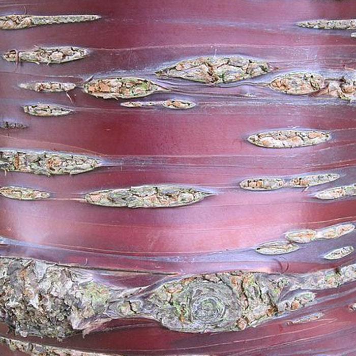 Foto Rindendetail der Mahagoniekirsche Prunus serrula